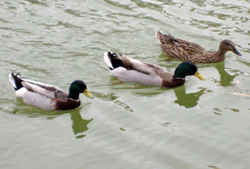 Three ducks floating on a pond