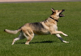German Shepard - a warm blooded mammal