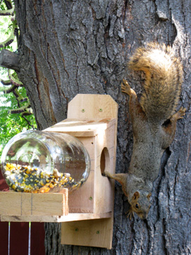 Picture of squirrel hanging upside down next to a feeder
